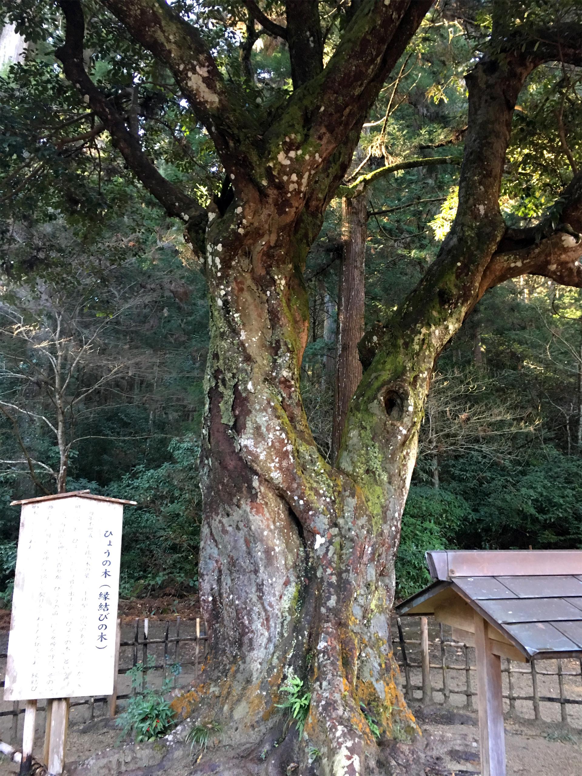 小國神社 縁結びの御神木 ひょうの木