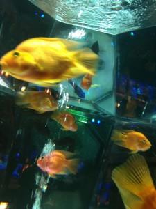 Art Aquarium 2012の金魚