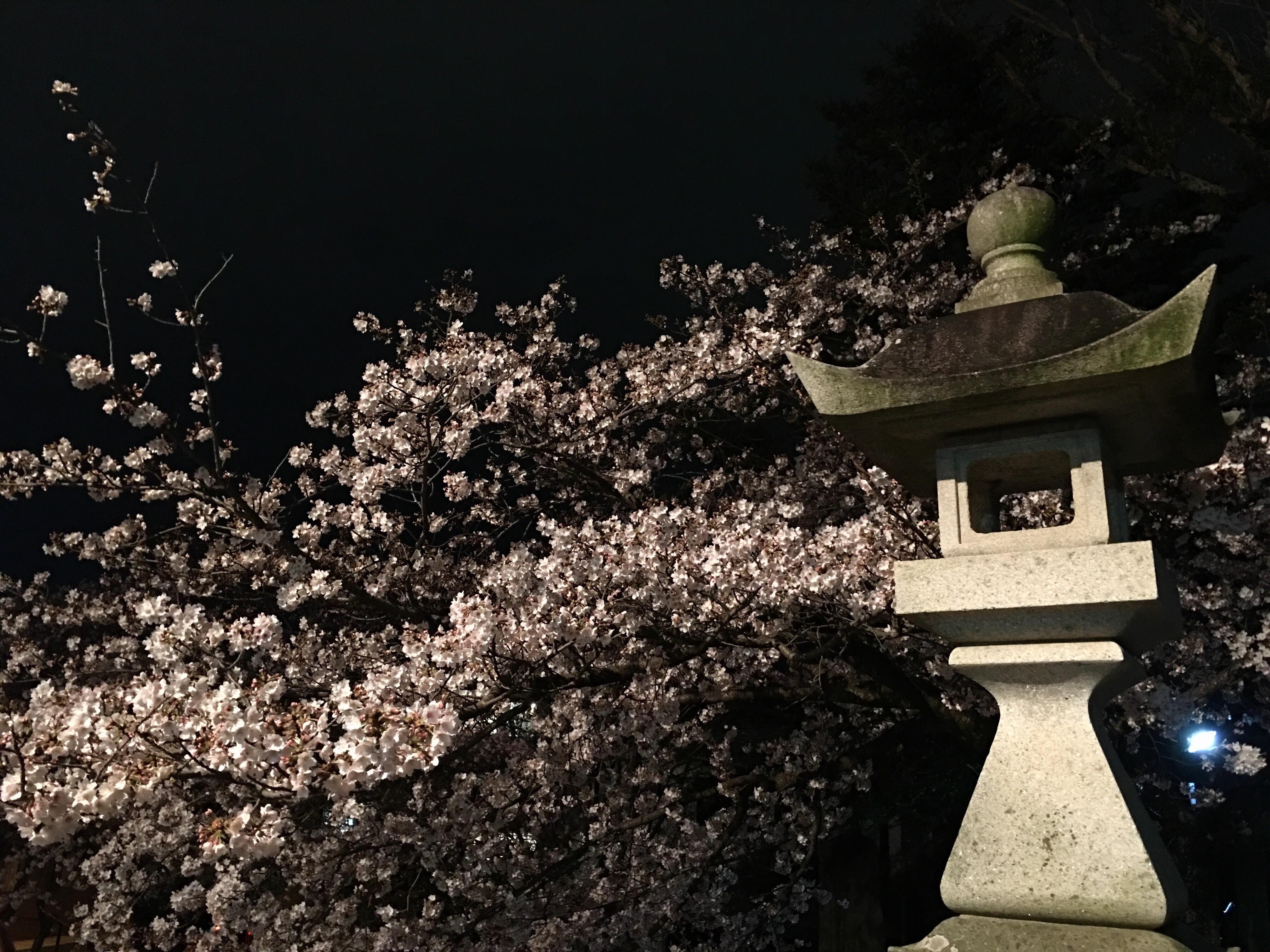 広沢町の日枝神社の夜桜